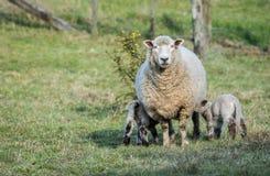 Lambs Feding Time Stock Photos