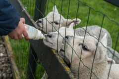 Lambs feeded from baby drinking bottle. Child hand holding drinking bottle. three little lambs drinking from the bottle. Child feeding little lamb behind a fence Stock Image