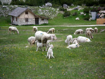 lambs feeding Royalty Free Stock Photo
