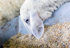 Lambs feeding in a farm Royalty Free Stock Photos