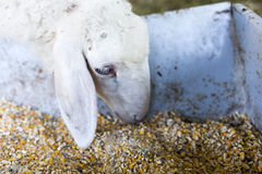 Lambs feeding in a farm Royalty Free Stock Photography
