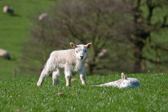 Lambs in a field Stock Images