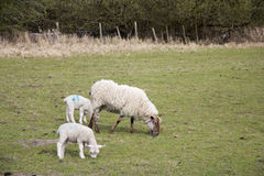 Lambs in a field in the Chilterns Stock Photo