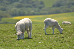 Lambs in field outside Corfe Royalty Free Stock Photography