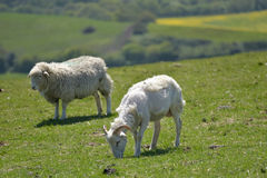 Lambs in field outside Corfe Stock Images
