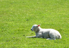 Lambs in field outside Corfe Royalty Free Stock Photos