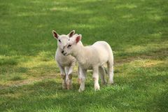 Lambs In The Field. Pretty little Spring lambs enjoying the sunshine out in the field Stock Image