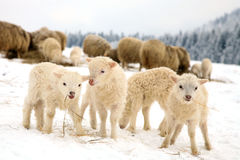 Lambs Royalty Free Stock Photography