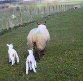 Lambs following Mum, Northumberland, Uk. Sheep with her two little lambs following her. In Northumberland. UK Royalty Free Stock Photography