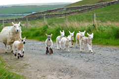 Lambs galloping stock photography