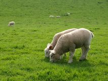 Lambs Grazing. Little Lambs Grazing in a Green Field Royalty Free Stock Photography