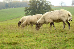 Lambs grazing on the field Royalty Free Stock Image