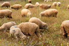 Lambs grazing in a green field Stock Photography