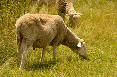 Lambs grazing on a meadow Royalty Free Stock Images