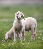 Lambs Grazing On Meadow Stock Image