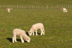Lambs grazing in paddock Stock Photos