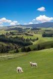 Lambs grazing picturesque landscape Stock Photo