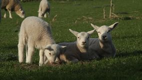 Lambs grazing stock video footage
