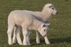 Lambs grazing Royalty Free Stock Image