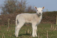 Lambs grazing Stock Photography