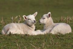 Lambs grazing Stock Image