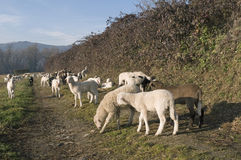 Lambs grazing on a trail Stock Image