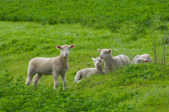 Lambs in Green Field. Young lambs in a green field Royalty Free Stock Images