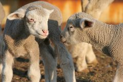 Lambs Greeting Royalty Free Stock Photography