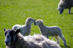 Lambs greeting. Two young lambs greeting in centre with mothers at edge of frame Stock Photos