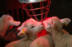 Lambs with heater. Orphan Lambs with heater to simulate mother's warmth, spring Stock Image