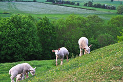 Lambs on the hill. Several young lambs grazing on a hill in Somerset, England Royalty Free Stock Image