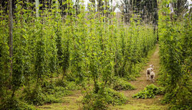 Lambs and Hop Crop. Hops grow in large plantations, with sheep hiding in the rows Royalty Free Stock Images