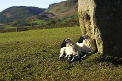 Lambs In The Morning Sun Stock Photography