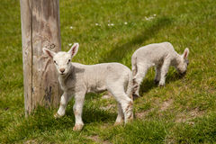 Lambs, Ireland Stock Photo