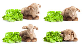 Lambs isolated on white background with salad as v. Cute little baby with salad as vegetarian habit Royalty Free Stock Photo