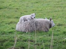 Lambs just born on meadows in Zuidplas and Waddinxveen stock image