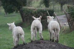 3 lambs royalty free stock photos