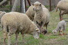 Lambs. Little lamb with parent lambs in the green grass Stock Photo