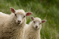 Lambs Looking At Camera Stock Photography
