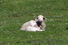 Lambs Lying On Pasture Stock Photos