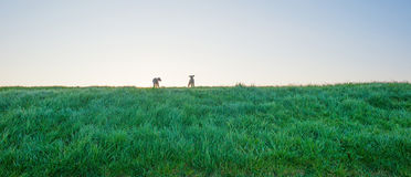 Lambs in a meadow on a dike in spring Stock Photos