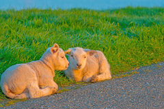 Lambs in a meadow on a dike in spring Royalty Free Stock Images
