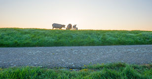 Lambs in a meadow on a dike in spring Stock Images