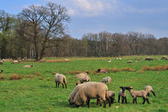 Lambs with mother Royalty Free Stock Photo