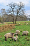 Lambs with mother Royalty Free Stock Images
