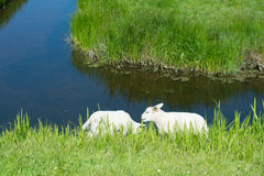 Lambs near the ditch Royalty Free Stock Photography