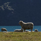 Lambs in New Zealand Stock Image