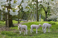 Lambs in an orchard in full blossom Royalty Free Stock Images