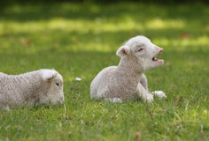 Lambs in the paddock. Two cute young lambs in the paddock, one looks like he's talking stock images