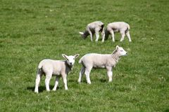 Lambs on pasturage Stock Photo